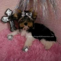 Yorkshire Terriers as Christmas companions and lifesavers